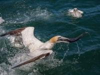 Gannet Catch
