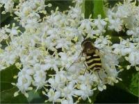 Elderflower & hover fly