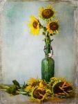 Thirsty Sunflowers
