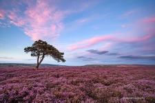 Egton Moor Heather